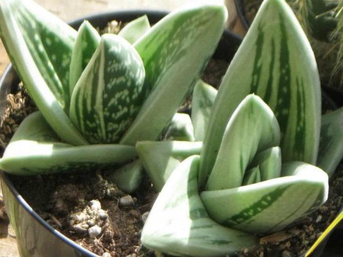 Gasteraloe green ice