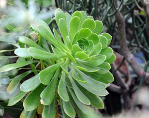 greenovia aurea