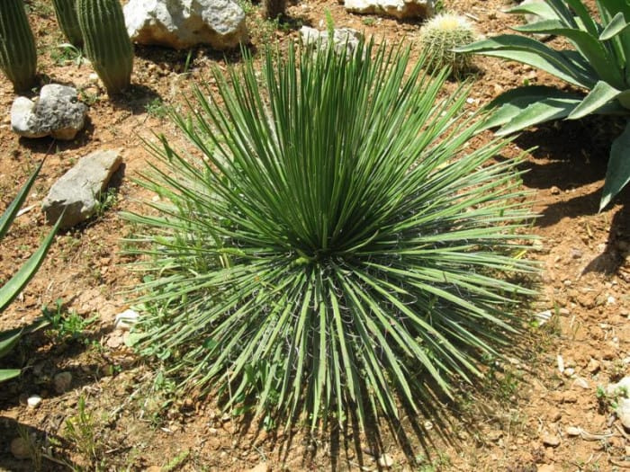 types of agave