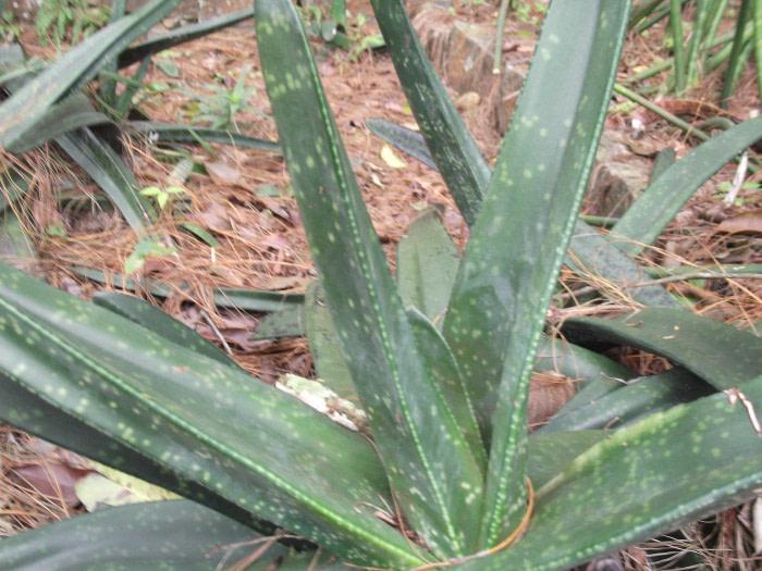 gasteria acinacifolia