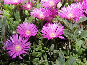 "Easy Delosperma Cooperi Care ""Ice Plant Succulent"""