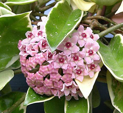 Hoya carnosa variegata