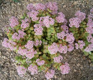 "Crassula Rupestris Care ""Baby Necklace Succulent"""