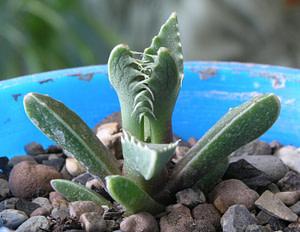 """Faucaria Tigrina Care """"Tiger Jaw Succulent"""""""