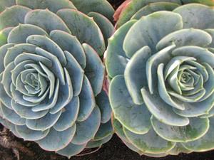"""Echeveria Imbricata """"Blue Rose Echeveria"""""""