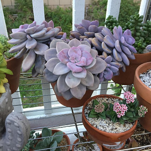 7 Easy Graptopetalum Care And Growing Tips