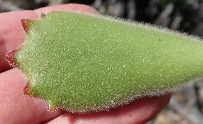 bear's paw succulent - cotyledon tomentosa