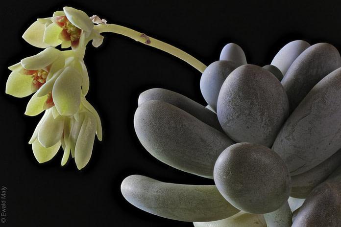 moonstone succulent pachyphytum oviferum