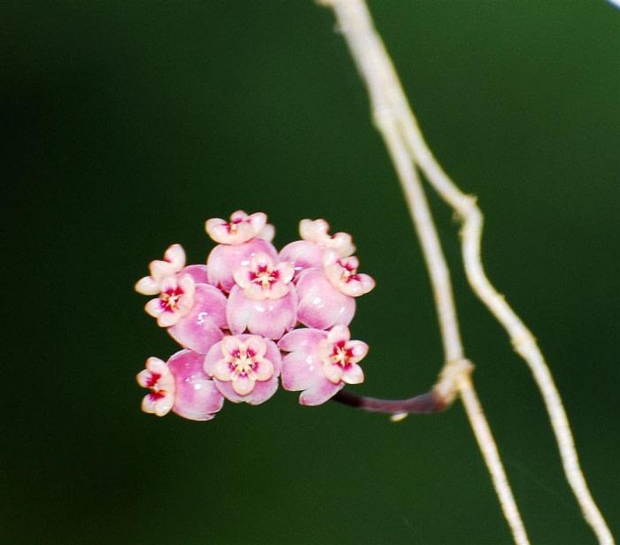 Hoya diversifolia
