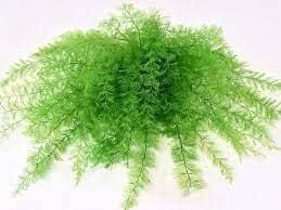 air fern