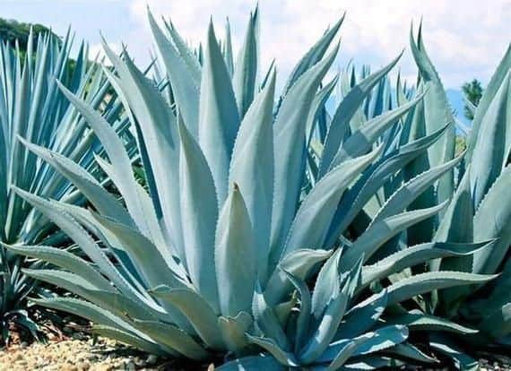 blue agave tequilana