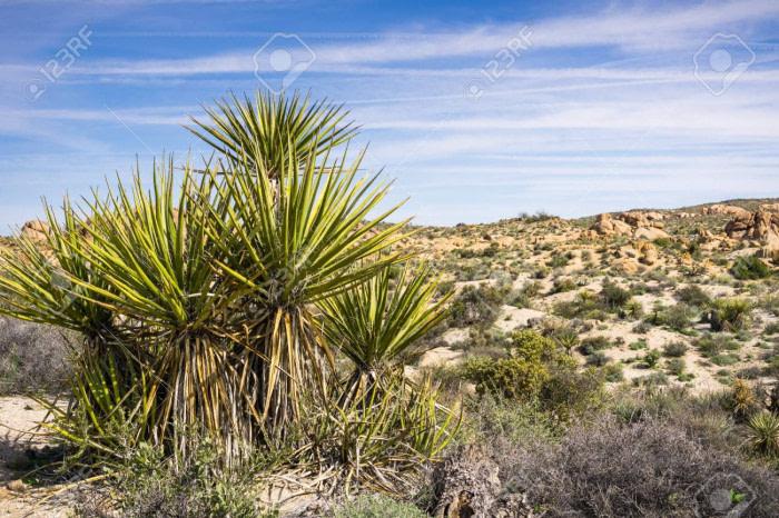 Mojave Yucca