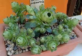 Greenovia dodrentalis