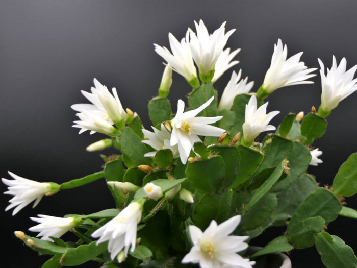 easter cactus care