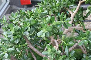 """Crassula Ovata Care """"Jade Plant"""""""