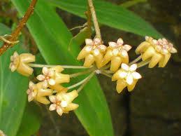 Hoya benvergarai
