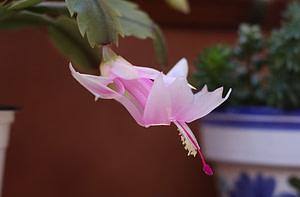 christmas cactus propagation
