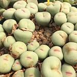 conophytum pageae