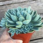 echeveria blue