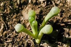 mimicry plants