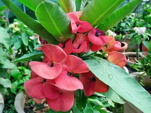 "Euphorbia Milii ""Crown Of Thorns Plant"""