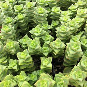 crassula perforata - string of buttons succulent