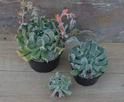types of echeveria